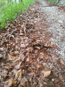Spot the Salamander!